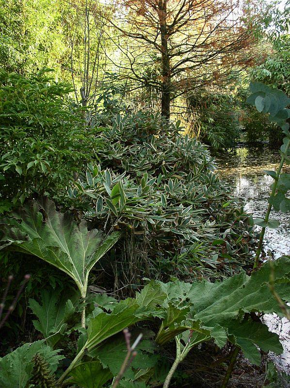 http://bambusy.info/img/uploaded/Sasa-veitchii-07.jpg