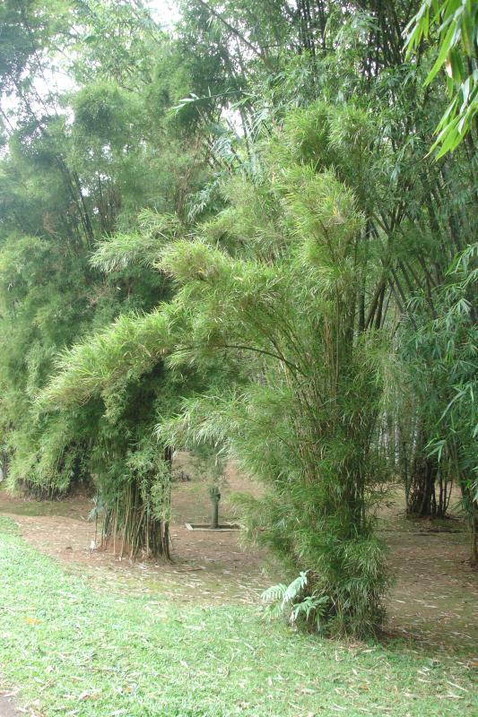 http://bambusy.info/img/uploaded/Sri-Lanka-Botanicka-zahrada-Kandy-02.jpg