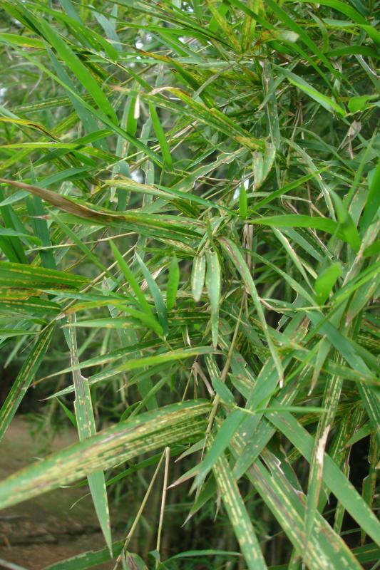 http://bambusy.info/img/uploaded/Sri-Lanka-Botanicka-zahrada-Kandy-03.jpg