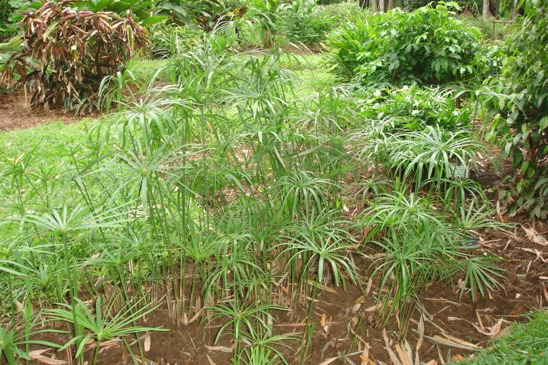 http://bambusy.info/img/uploaded/Sri-Lanka-Botanicka-zahrada-Kandy-04.jpg