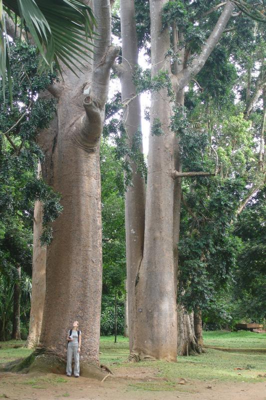 http://bambusy.info/img/uploaded/Sri-Lanka-Botanicka-zahrada-Kandy-07.jpg