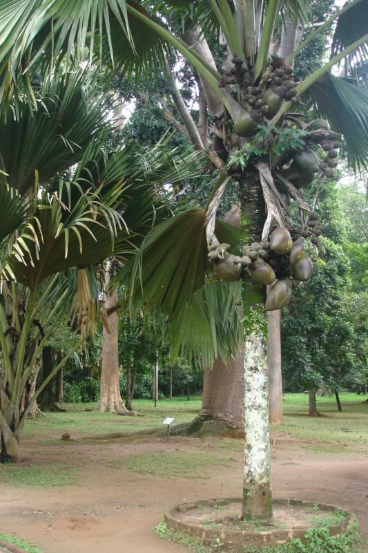 http://bambusy.info/img/uploaded/Sri-Lanka-Botanicka-zahrada-Kandy-08.jpg