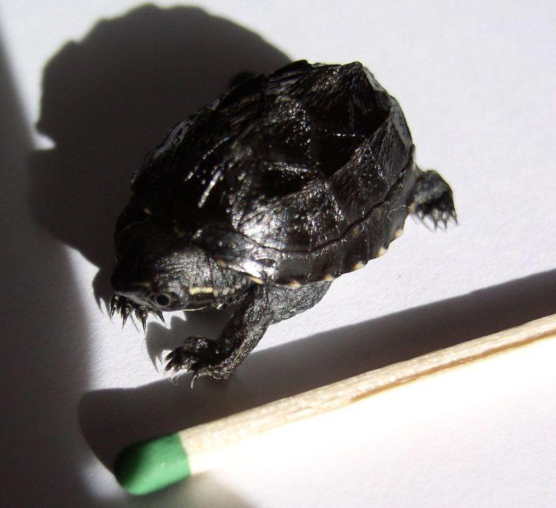 http://bambusy.info/img/uploaded/Sternotherus-odoratus-1-denni-mlade-02.jpg