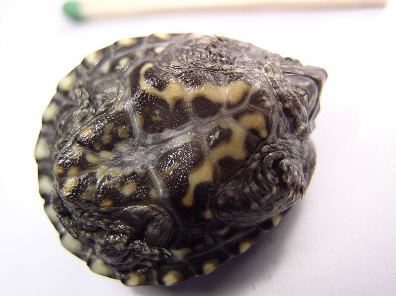 http://bambusy.info/img/uploaded/Sternotherus-odoratus-mesic-stare-mlade-02.jpg