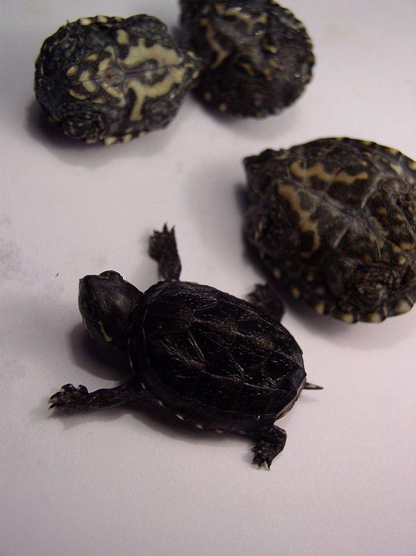 http://bambusy.info/img/uploaded/Sternotherus-odoratus-mladata-01.jpg