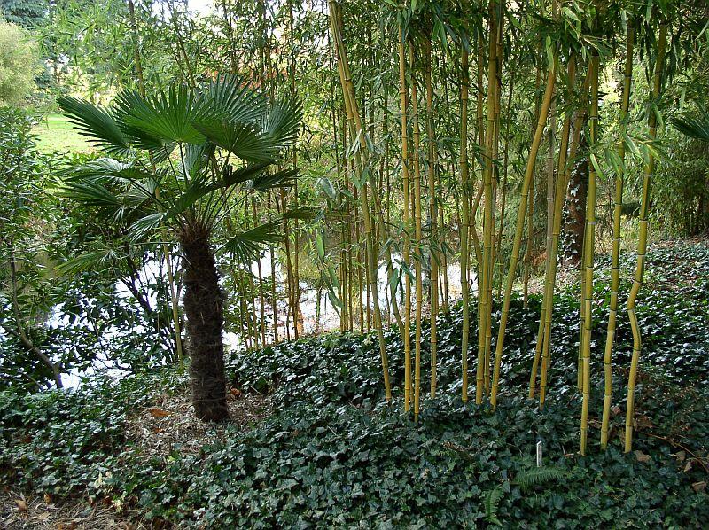 http://bambusy.info/img/uploaded/Trachycarpus-Phyllostachys-aureosulcata-spectabilis-01.jpg