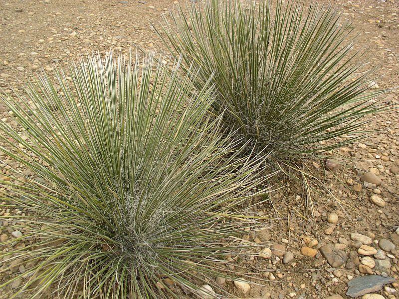 http://bambusy.info/img/uploaded/Yucca-elata-Troja-03.jpg