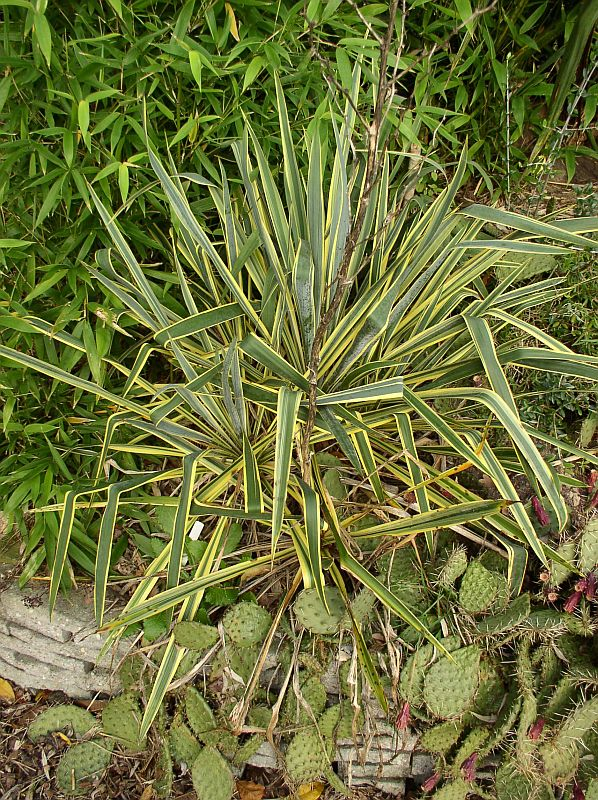 http://bambusy.info/img/uploaded/Yucca-filamentosa-Bright-Edge-01.jpg