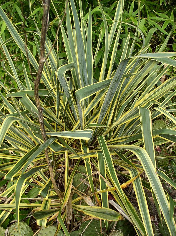 http://bambusy.info/img/uploaded/Yucca-filamentosa-Bright-Edge-02.jpg