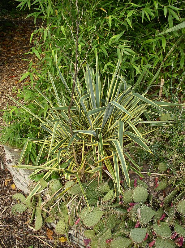 http://bambusy.info/img/uploaded/Yucca-filamentosa-Bright-Edge-04.jpg