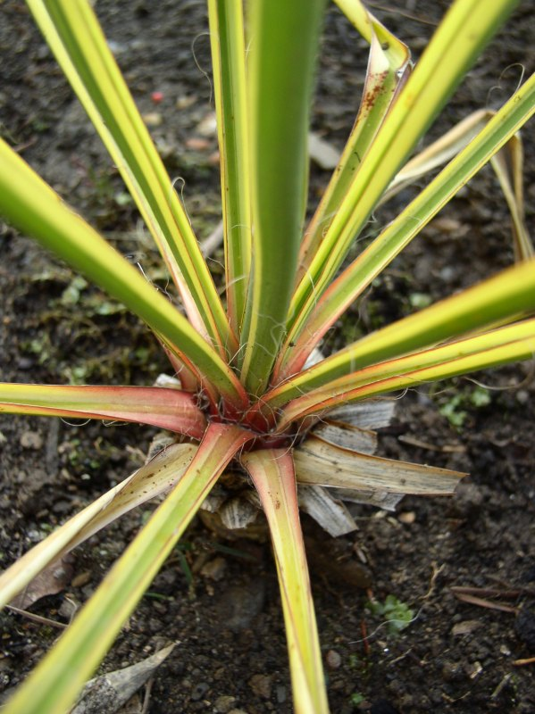 http://bambusy.info/img/uploaded/Yucca-filamentosa-Bright-Edge-uzky-list-2008-02.jpg