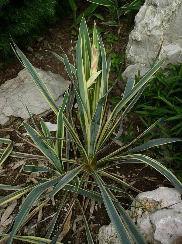 http://bambusy.info/img/uploaded/Yucca-filamentosa-Bright-Edge-v-květu-01.jpg