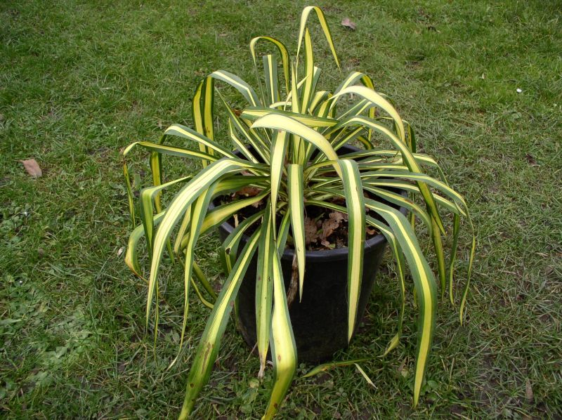 http://bambusy.info/img/uploaded/Yucca-filamentosa-Golden-Sword-01.jpg