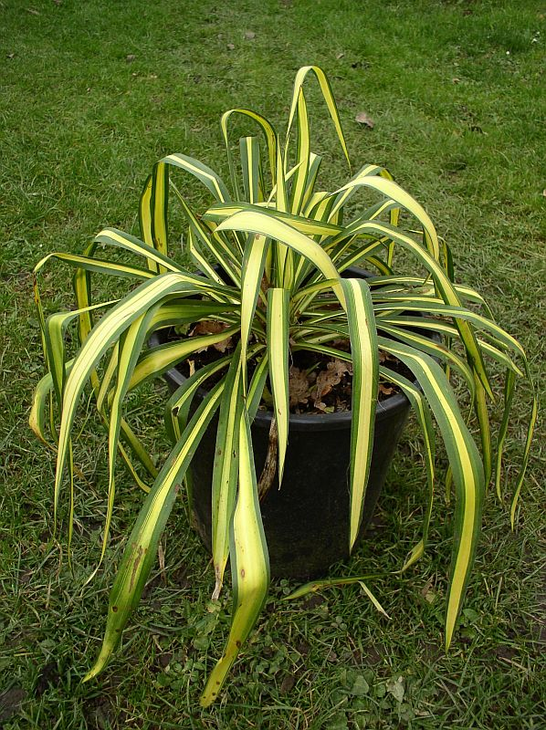 http://bambusy.info/img/uploaded/Yucca-filamentosa-Golden-Sword-03.jpg
