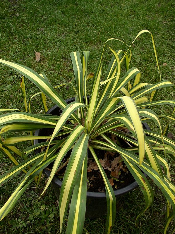 http://bambusy.info/img/uploaded/Yucca-filamentosa-Golden-Sword-05.jpg