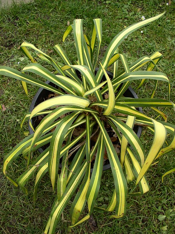 http://bambusy.info/img/uploaded/Yucca-filamentosa-Golden-Sword-06.jpg