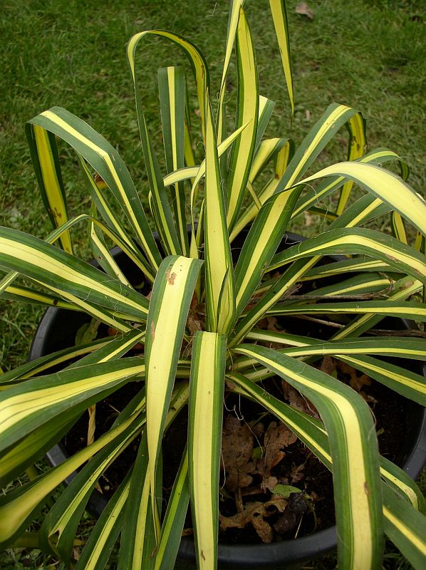 http://bambusy.info/img/uploaded/Yucca-filamentosa-Golden-Sword-07.jpg