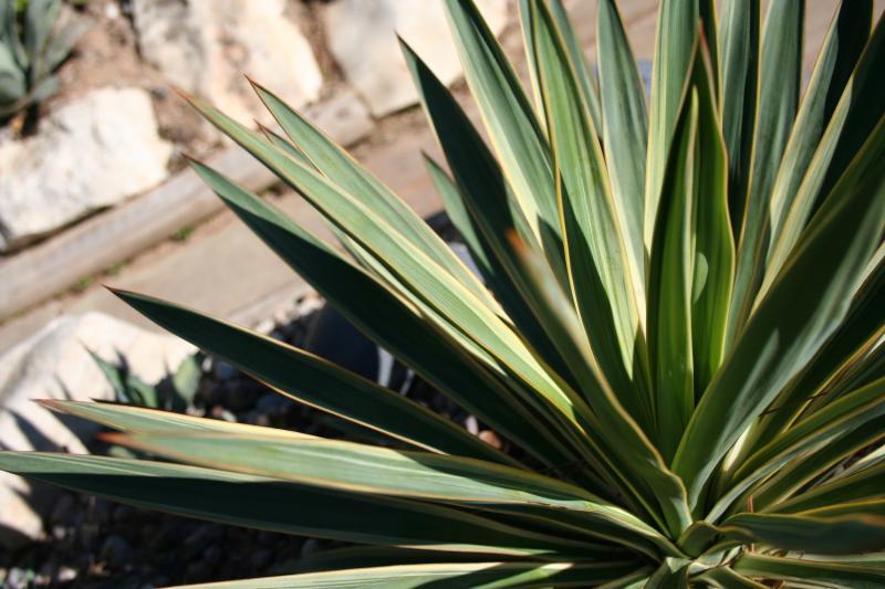 http://bambusy.info/img/uploaded/Yucca-gloriosa-variegata-Jaroslav-01.jpg