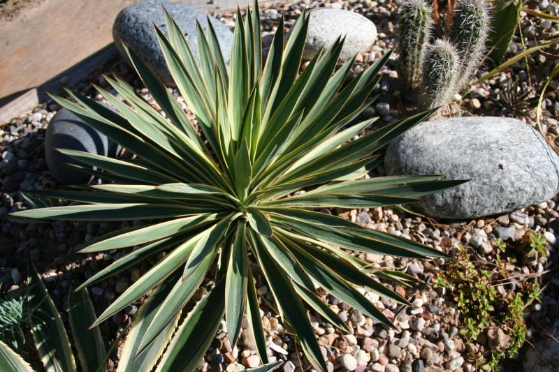 http://bambusy.info/img/uploaded/Yucca-gloriosa-variegata-Jaroslav-02.jpg