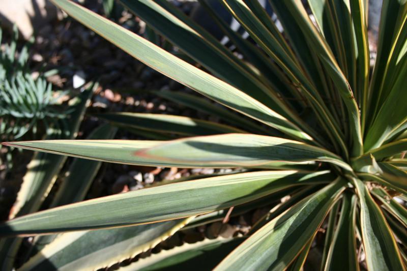http://bambusy.info/img/uploaded/Yucca-gloriosa-variegata-Jaroslav-03.jpg