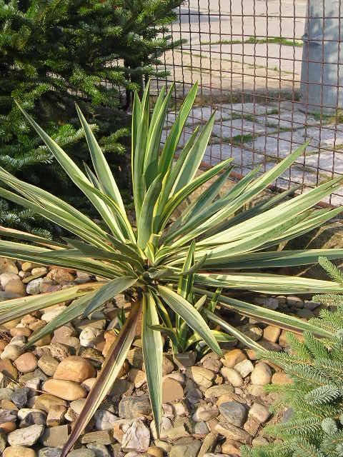 http://bambusy.info/img/uploaded/Yucca-gloriosa-variegata-Josef-02.jpg