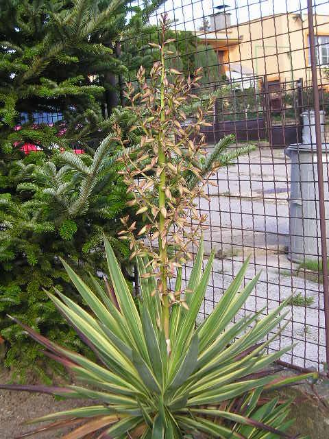 http://bambusy.info/img/uploaded/Yucca-gloriosa-variegata-Josef-05.jpg