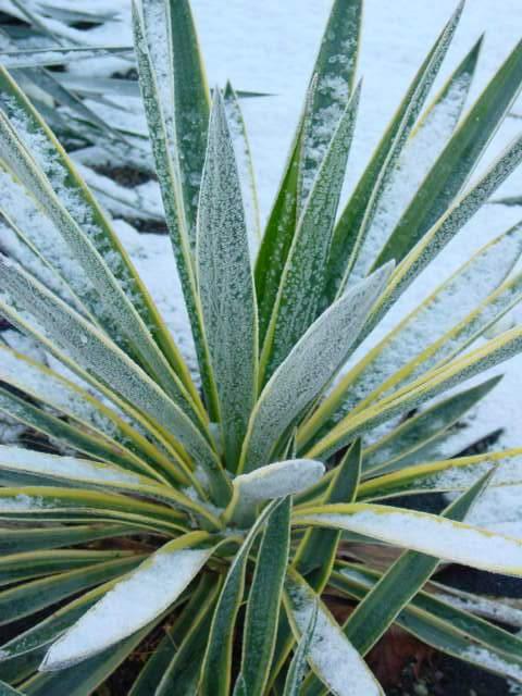 http://bambusy.info/img/uploaded/Yucca-gloriosa-variegata-Josef-06.jpg