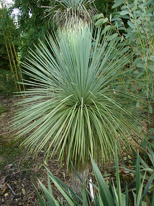 http://bambusy.info/img/uploaded/Yucca-linearis-01.jpg