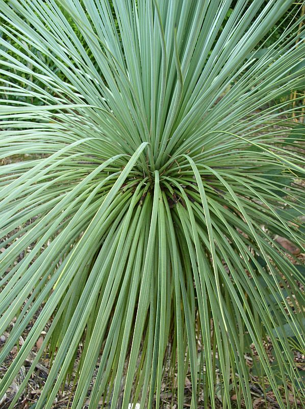 http://bambusy.info/img/uploaded/Yucca-linearis-02.jpg