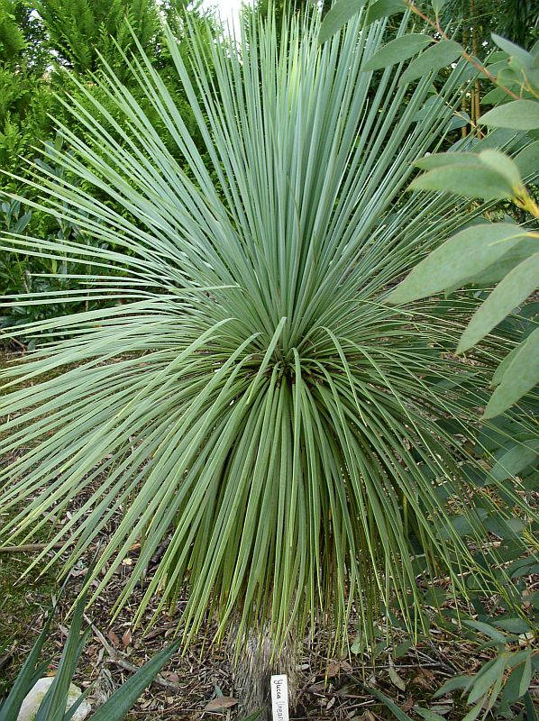 http://bambusy.info/img/uploaded/Yucca-linearis-03.jpg