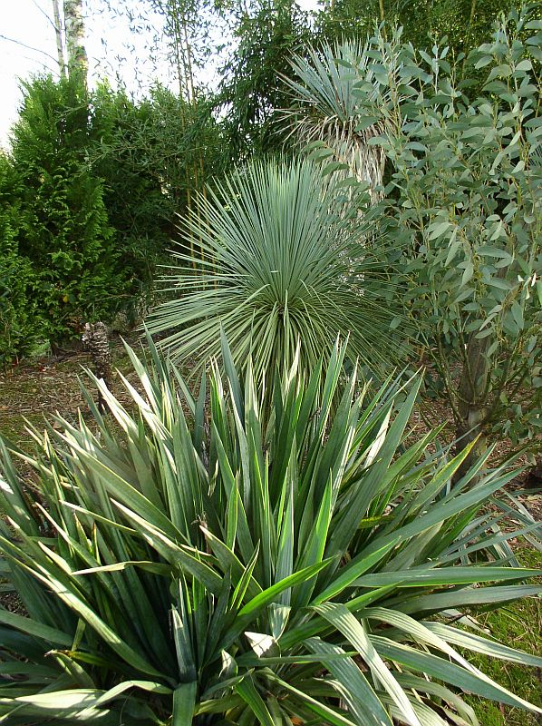 http://bambusy.info/img/uploaded/Yucca-linearis-04.jpg