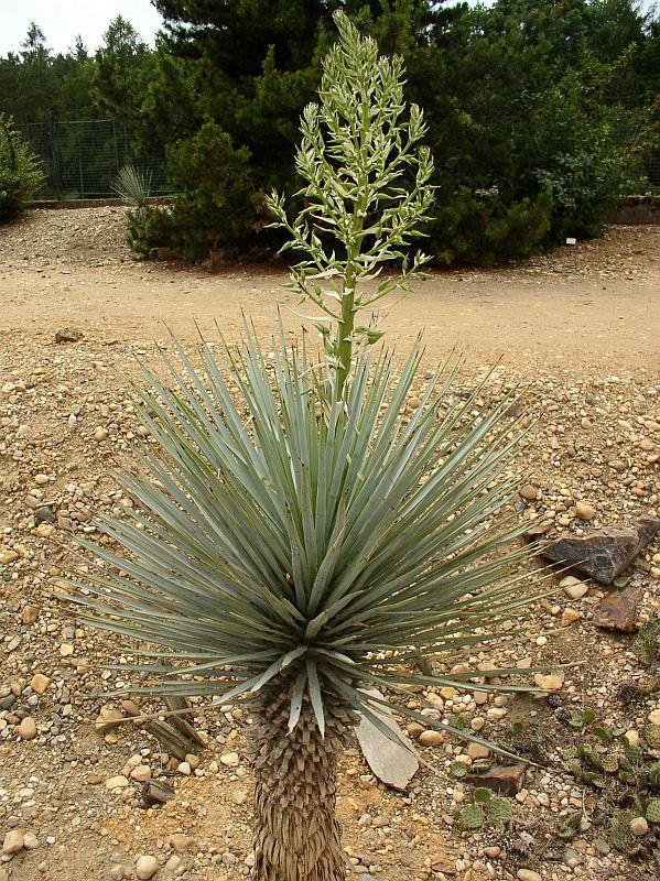 http://bambusy.info/img/uploaded/Yucca-rigida-Troja-05.jpg