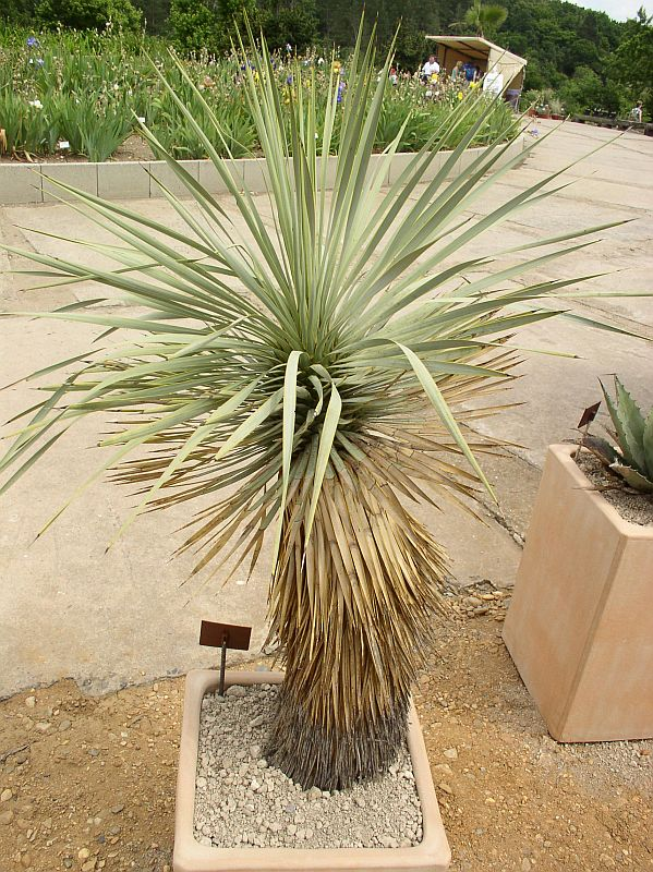 http://bambusy.info/img/uploaded/Yucca-thompsoniana-Troja-05.jpg
