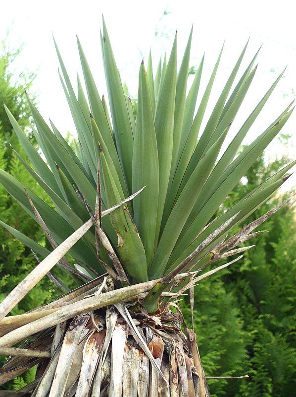 http://bambusy.info/img/uploaded/Yucca-treculeana-03.jpg
